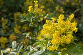 image of aquifolium  - flowering evergreen Mahonia aquifolium yellow flowers in early spring - JPG