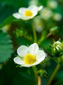 Strawberry Flower In Early Spring