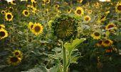 The Promising Sunflower In The Garden