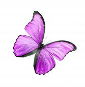 Pink Butterfly Isolated On White