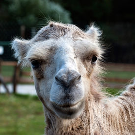 picture of camel-cart  - Close up of camel face  - JPG