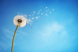 picture of seed  - Dandelion with seeds blowing away in the wind across a clear blue sky with copy space - JPG