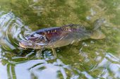 Carp, Pond, Fish, Koy