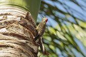 Woodpecker In A Palm Tree.