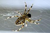 Garden Spider In Its Web.