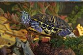 picture of terrapin turtle  - Home red - JPG