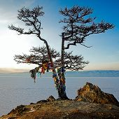 Winter Baikal. Shaman tree on the bank of winter Baikal lake