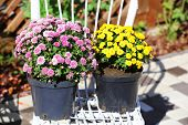 Yellow and lilac flowers in pots on white wicker chair in garden