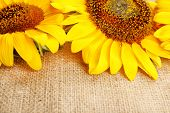 Beautiful sunflowers on sackcloth background