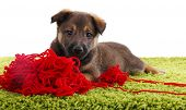 Puppy on a green carpet playing with hank of red yarn isolated on white