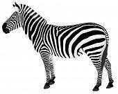 detailed illustration of zebra
