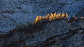Golden Larchs In Autumn