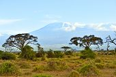 stock photo of kilimanjaro  - Amboseli National Park and Mount Kilimanjaro in Kenya - JPG