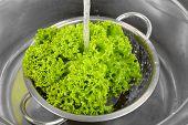 Lettuce salad leaves in colander in sink