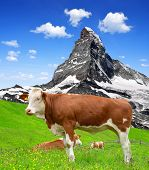 Cow in the meadow.In the background of the Matterhorn-Swiss Alps