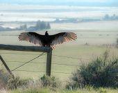 Turkey vulture on fence