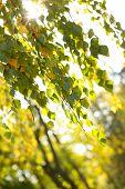 Beautiful birch leaves