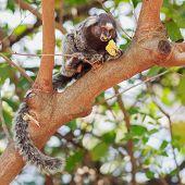 The Common Marmoset (callithrix Jacchus) White-eared Monkey Eating Banana On Tree