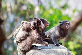 White-eared Monkey Family: Male And Female Eating With Baby