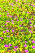 Flower of sea bells in Okinawa