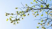 stock photo of dogwood  - White flowering dogwood  - JPG
