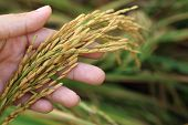 Rice Spike Grains In Hands