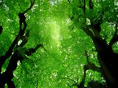 pic of arborist  - Looking up at two trees with green leaves - JPG