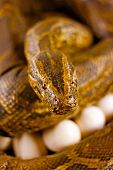 stock photo of snake-head  - A digitally constructed painting of snake guarding her eggs - JPG