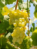 picture of grape  - Grape Riesling - JPG