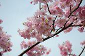 picture of sakura  - beautiful pink cherry blossom  - JPG