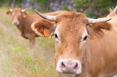 stock photo of bull head  - Flies sitting on the head of a French bull - JPG