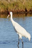 stock photo of blue crab  - Whooping Crane Watching a Blue Crab Holding onto Its Beak - JPG
