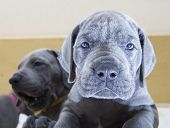 pic of great dane  - Blue Great Dane puppy that looked tired of having company around - JPG