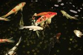 image of japanese coin  - Koi Carps Fish Japanese swimming in aquarium. Red decorative Fishes and Coins in holding tank. Symbols of good luck and prosperity in Japan.