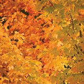 foto of angiosperms  - Abstract red and golden maple leaves autumn background - JPG