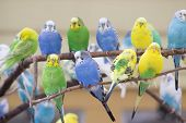 stock photo of parakeet  - Colorful parakeets standing in group on branch - JPG