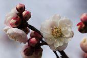 picture of kinky  - Beautiful plum flowers bloom in spring of Japan - JPG