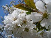 blossom on cherry tree