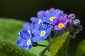pic of forget me not  - close up of a forget me not flower - JPG