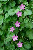 stock photo of meadowsweet  - Pink purple geranium flowers blossoming in vertical line among green leaves - JPG