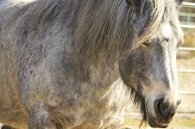 image of workhorses  - gray workhorse with a mane stands alone - JPG