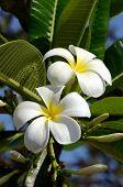 image of plumeria flower  - White and yellow Plumeria spp - JPG