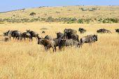 picture of wildebeest  - Wildebeest antelopes in the savannah Masai Mara Kenya - JPG