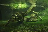 picture of anaconda  - Green anaconda  - JPG