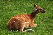 picture of rainforest animal  - Forest sitatunga  - JPG