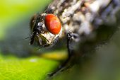 image of blowfly  - isolated close up house fly on the green background - JPG