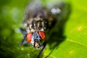 picture of blowfly  - isolated close up house fly on the green background - JPG