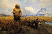 Постер, плакат: Аляскинский медведи