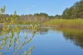 image of willow  - Blooming willow river is in the background - JPG