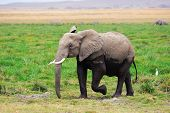 picture of swamps  - African elephant in the swamp in Amboseli national park Kenya - JPG